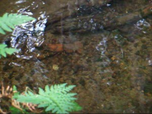 This is how you might spot them as they trundle along the creek bottom. Photo by K. Clouston