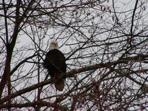 When salmon season rolls around the Bald Eagles come with all the other critters to feast by the Creek.