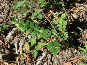 There are three types of Oregon Grape, tall, short and creeping with edible purple berries.
