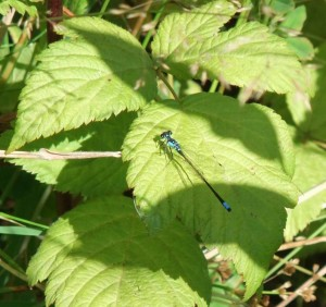 An electric blue damselfly found in the headwaters of Morrison Creek at First Supply Creek. Photo by Kathryn Clouston