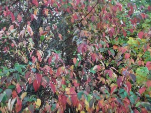Red Osier Dogwood puts on a spectacular display in the Fall.  Photo by K. Clouston