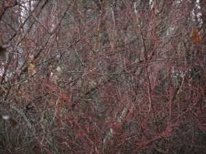 The red of the new growth provides a hint of colour during the drab winter.