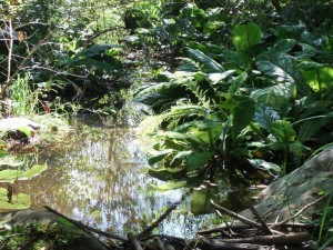 Even skunk cabbage can look spectacular, even tropical and exotic, in the right conditions. Photo by K. Clouston