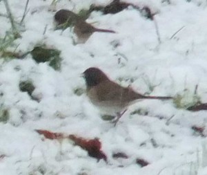 These little birds appear with abundance in my riparian zone as well as at my feeder.  Photo by K Clouston