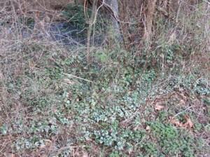 Lamium choking out the native vegetation beside Morrison Creek.  Photo by K Clouston