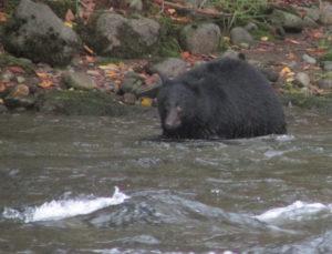 Black Bear 'hunting' dead salmon. Photo by K Clouston