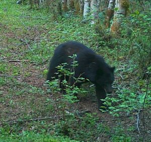 Bear cruising along a path in the headwaters.  Photo by J Palmer