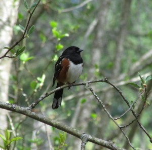 Spotted Towhee and Morrison Creek