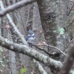Kingfisher above Morrison Creek in Puntledge Park.