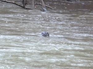 Seal at Puntledge Park