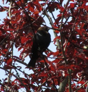 Brown-headed Cowbird in a  tree where its name becomes more obvious.  Photo by K Clouston