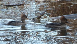female Hooded Mergansers, Courtenay, Morrison Creek, Comox Valley