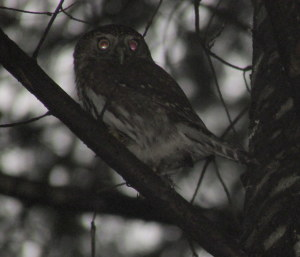 Northern Pygmy Owl in the Morrison Creek headwaters area.  Photo by K Clouston