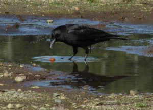 Northwestern Crow looking for dinner in a puddle.  Photo by K Clouston
