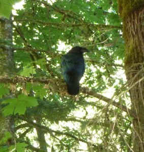 Raven playing shy in Puntledge Park.  Photo by K Clouston