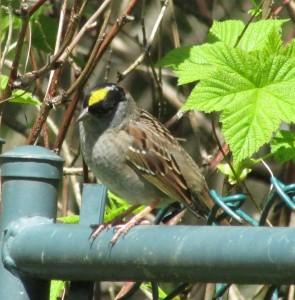 Golden-crowned Sparrow near Morrison Creek