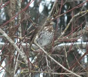 Fox Sparrow in Red Osier Dogwood beside Morrison Creek