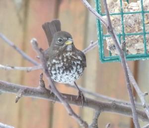 Fox Sparrow feeding by Morrison Creek