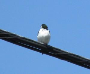 Violet-green Swallow near Morrison Creek