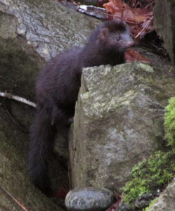 Mink in Puntledge Park, Photo by K Clouston