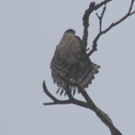 Cooper's Hawk drying off in Puntledge Park.  Photo by K Clouston