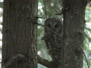 Barred Owl near the marshy area of Morrison Park.  Photo by K Clouston