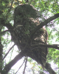 Second Barred Owl near the 'cliff' by the schools in Morrison Park.  Photo by K Clouston
