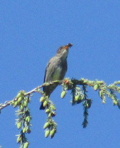 Olive-sided Flycatcher with his meal in the Morrison Creek Headwaters area. Photo by K Clouston