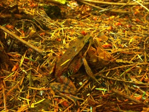 Blue-listed Red-Legged Frog in the Morrison Creek headwaters.  Photo by J Palmer