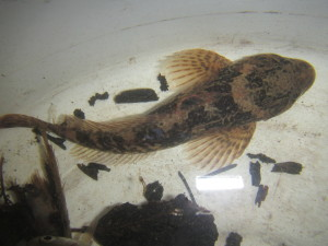 Prickly Sculpin rescued from future work site in Morrison Creek.   Photo by K Clouston