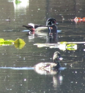 Male Wood Duck, top, with female Ring-necked Duck at Wildwood Marsh.  Photo by K Clouston