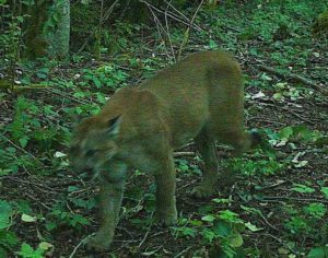 Cougar strolling along the bear path in the headwaters.