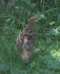Ruffed Grouse pretending she is invisible.  Photo by K Clouston